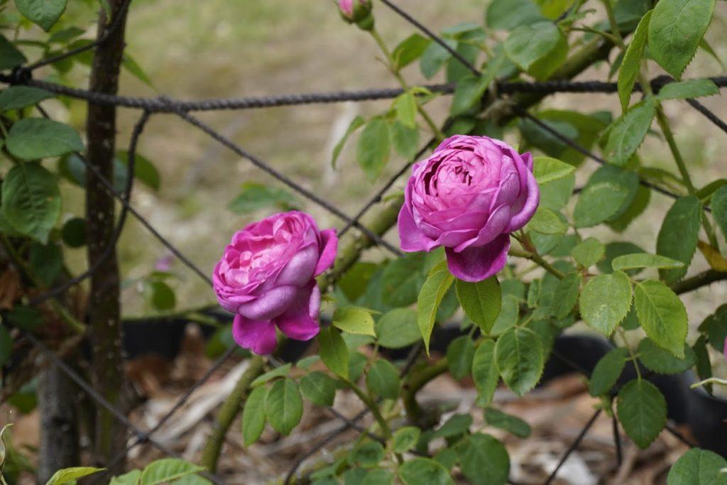 番の州公園のバラ アップルシード