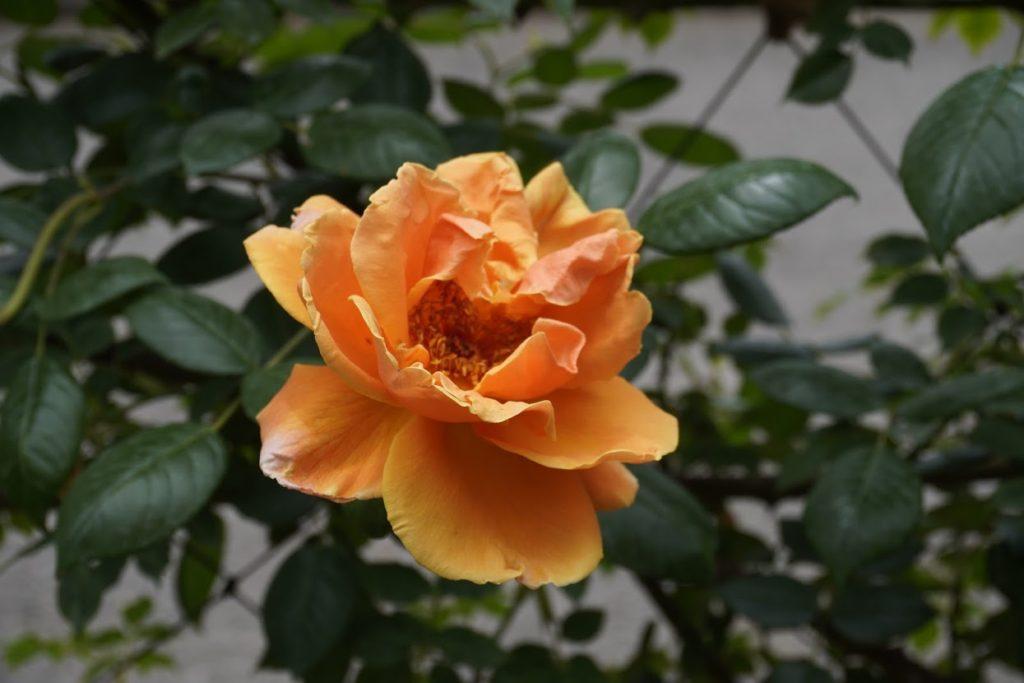 番の州公園のバラ ロイヤルサンセット