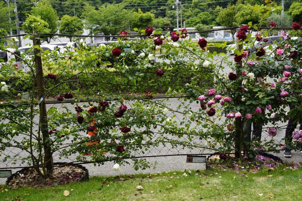 番の州公園のバラ ギネー