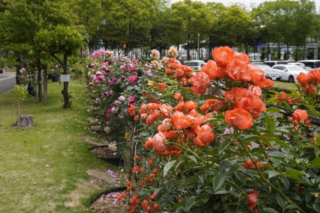 番の州公園のバラ