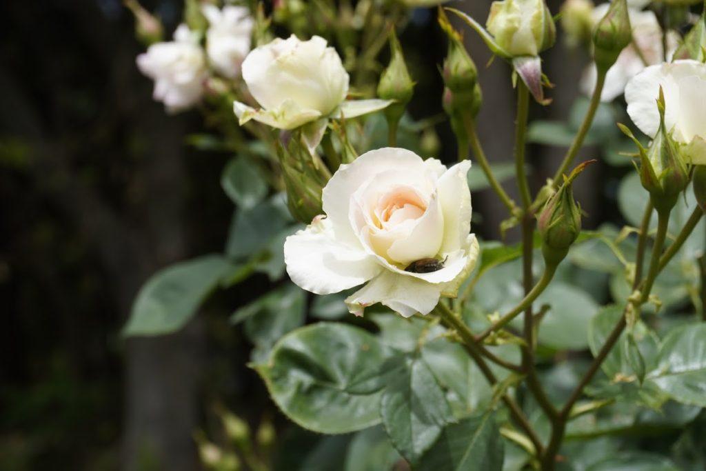 番の州公園のバラ マチルダ