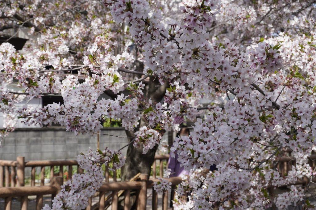 鹿の井出水遊歩道の桜