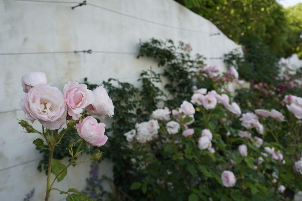 レオマ つるバラロードのバラ