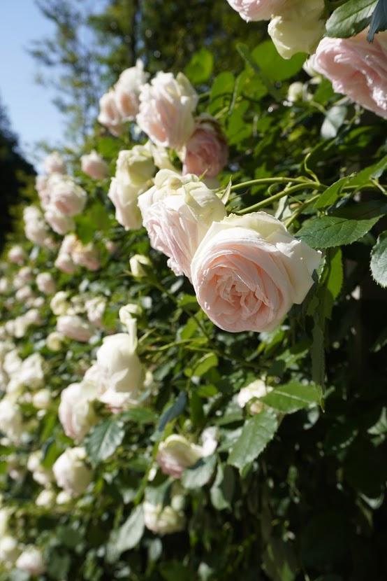 オリエンタルトリップエントランス前のバラ