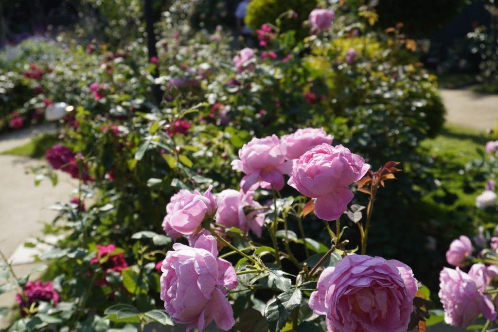 レオマ ローズガーデンのバラ