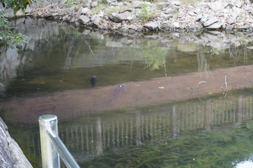 満濃池ほたる見公園の鯉