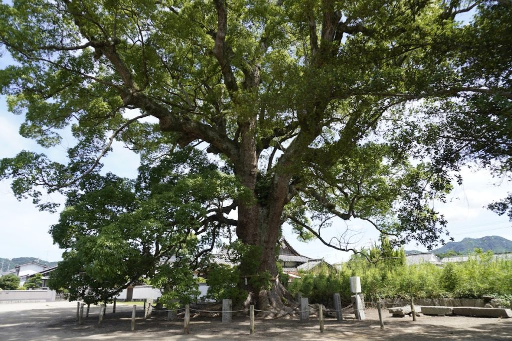 白鳥神社のクスノキ 保存木