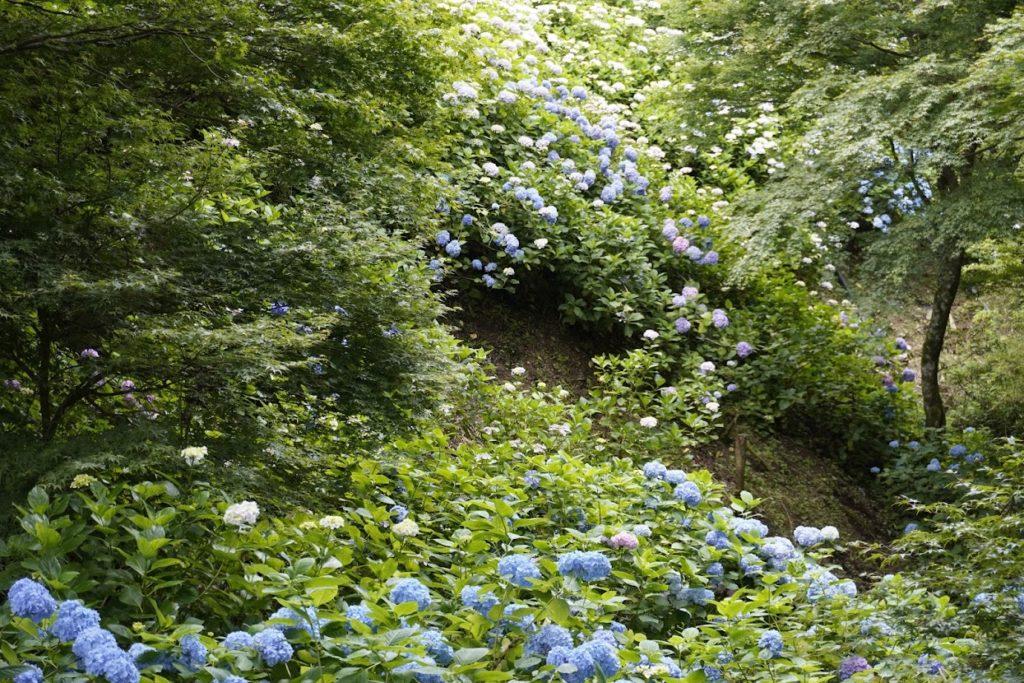 雲辺寺 本堂手前の道から谷沿いに咲くあじさい