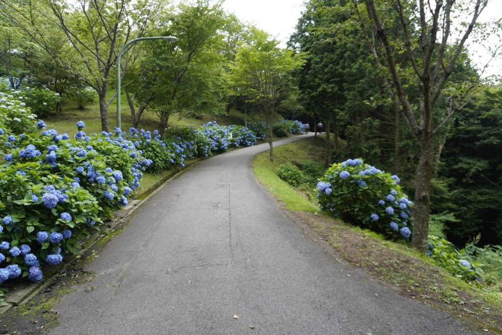 雲辺寺山頂駅前から山頂公園への道のあじさい
