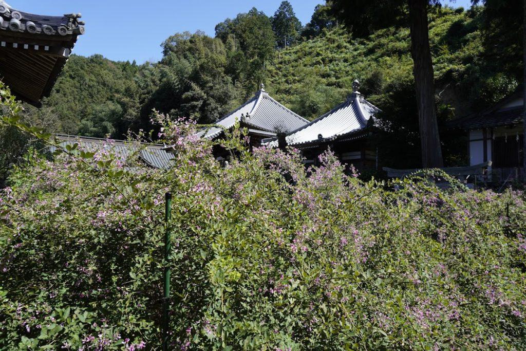 塩江最明寺境内を覆う萩