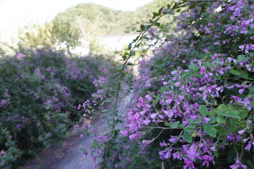 塩江最明寺の境内の萩